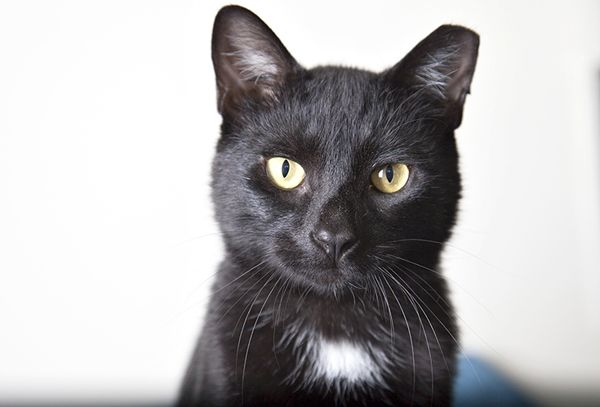 Bogart, an adopted Domestic Short Hair in Brooklyn, NY