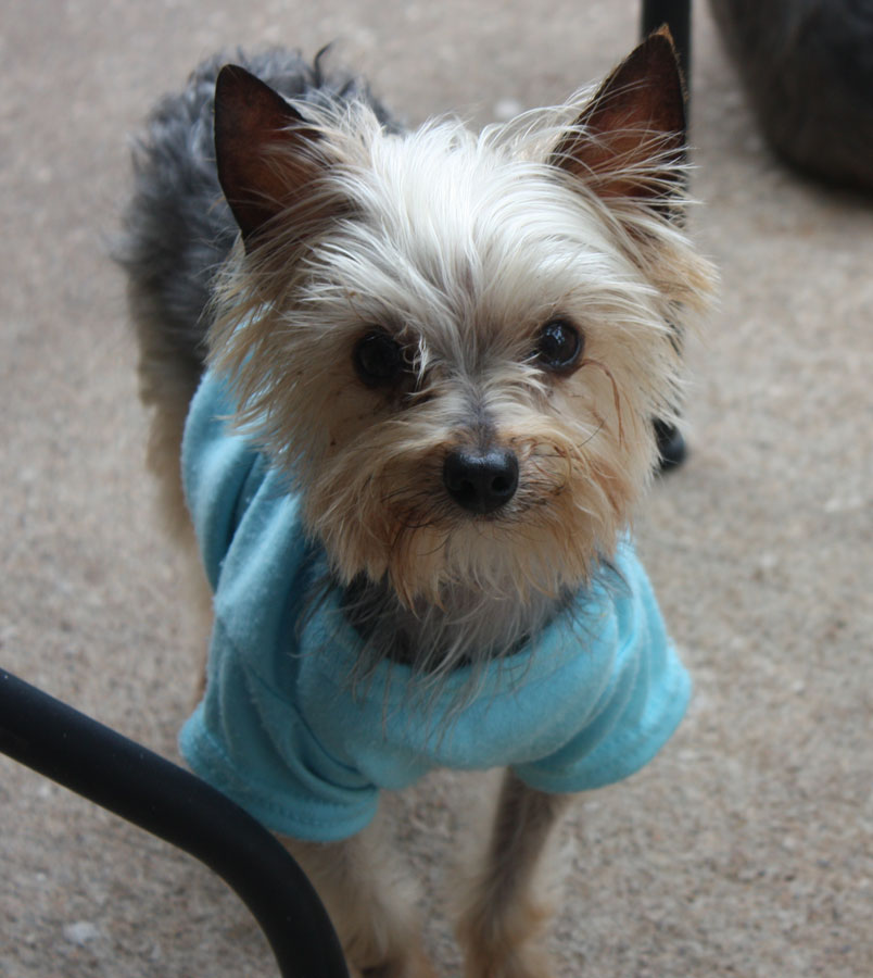 Dog For Adoption Tiny Tim Near League City Tx Petfinder