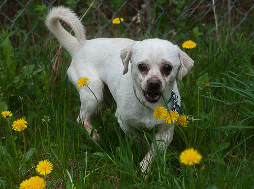 Corky, an adopted Chihuahua & Pug Mix in East Derry, NH