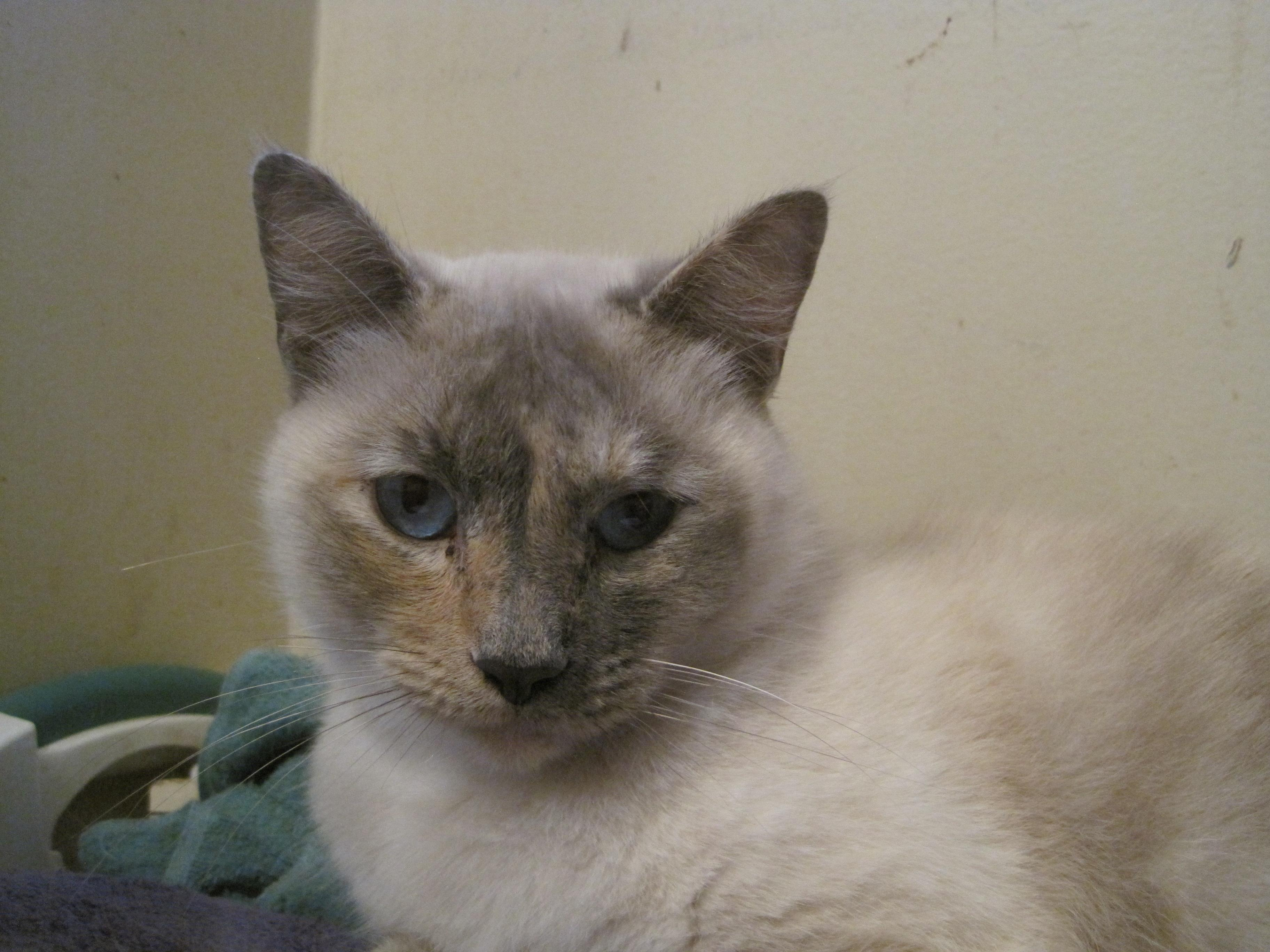 Cat for Adoption – BELLA SIAMESE PEOPLE CAT near Danville CA