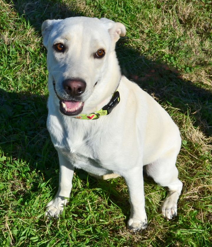 Ed, an adopted Great Pyrenees & Labrador Retriever Mix in Dallas, TX_image-1