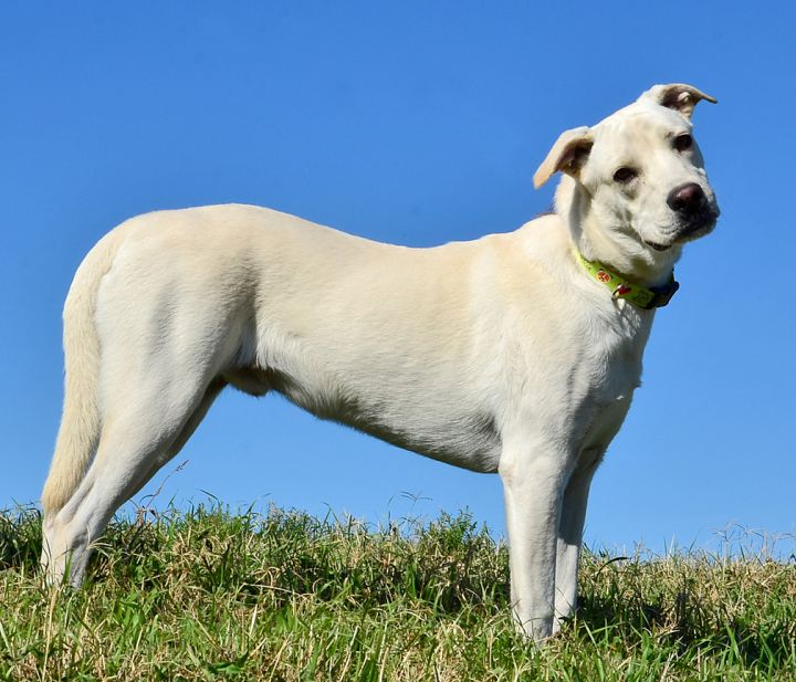 Ed, an adopted Great Pyrenees & Labrador Retriever Mix in Dallas, TX_image-2