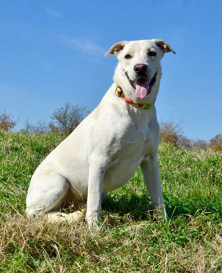 Ed, an adopted Great Pyrenees & Labrador Retriever Mix in Dallas, TX_image-3