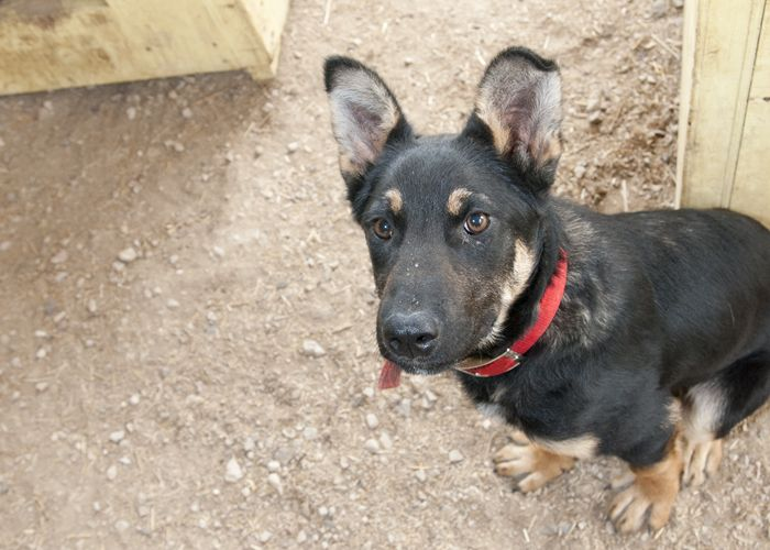 Logan, an adopted German Shepherd Dog in Fort Smith, NT