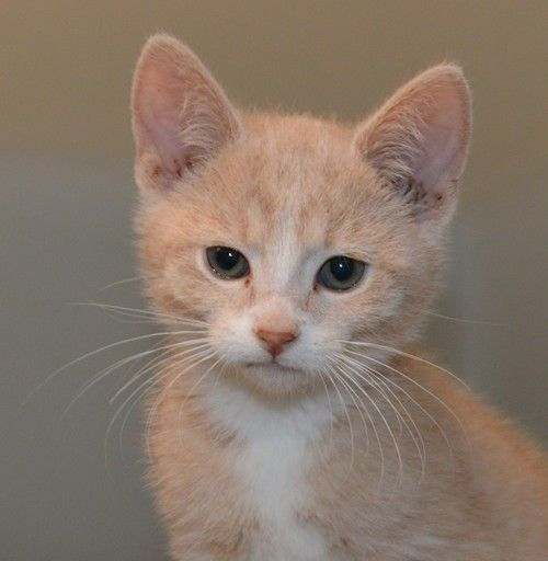 Beach Boy, an adopted Domestic Short Hair & Tiger Mix in Spooner, WI