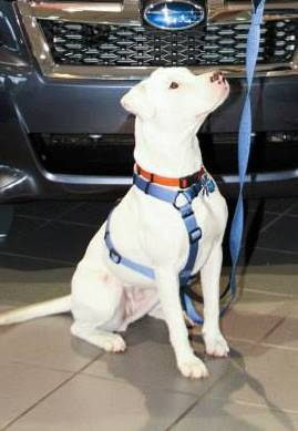 Pearl, an adopted American Staffordshire Terrier & American Bulldog Mix in Whitehouse, OH