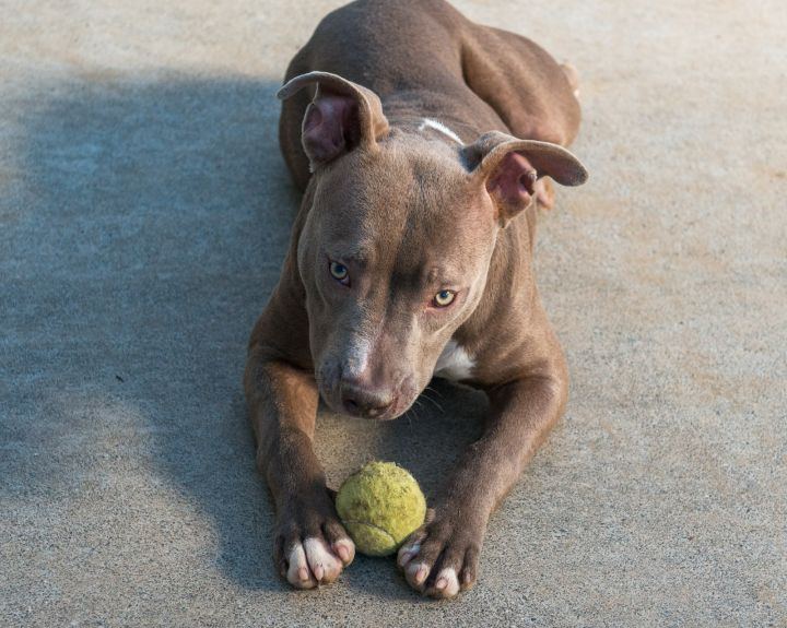 Lexi, an adopted Pit Bull Terrier Mix in Redwood Valley, CA