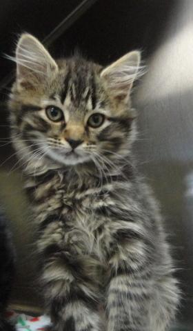 Heidi, an adopted Domestic Medium Hair & Tabby Mix in Spruce Pine, NC