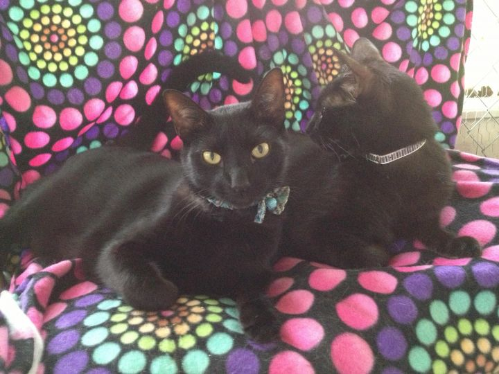 Marco and Polo, an adopted Domestic Short Hair in Tallahassee, FL