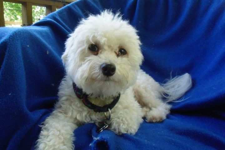 PJ, an adopted Bichon Frise & Poodle Mix in Austin, TX_image-1
