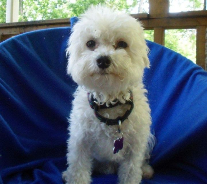 PJ, an adopted Bichon Frise & Poodle Mix in Austin, TX_image-2