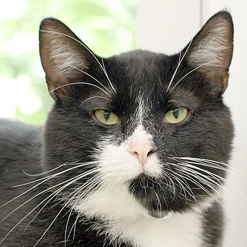 BUBBA, an adopted Tuxedo & Domestic Short Hair Mix in Grand Rapids, MI