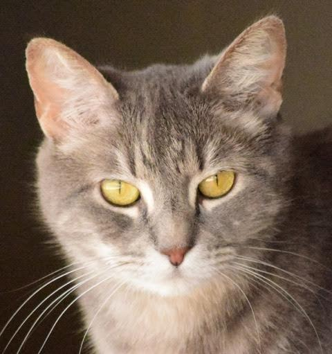 Hope, an adoptable Tabby in Palo Cedro, CA