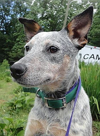 Miss Kay, an adopted Australian Cattle Dog / Blue Heeler Mix in Spruce Pine, NC