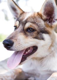 Bandit, an adopted German Shepherd Dog & Husky Mix in Ashland, VA