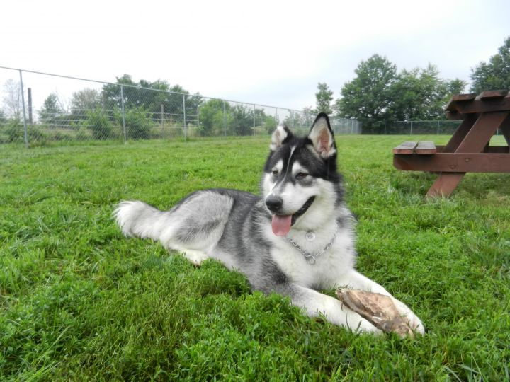 Hunter, an adopted Alaskan Malamute in Mount Prospect, IL