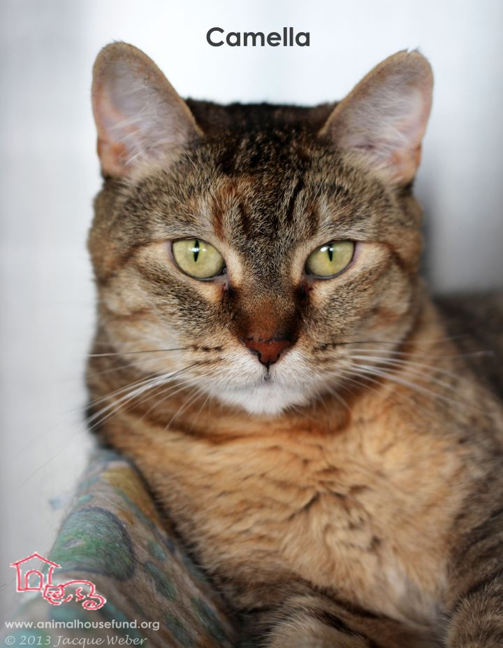 Camella, an adoptable Torbie in St. Louis, MO