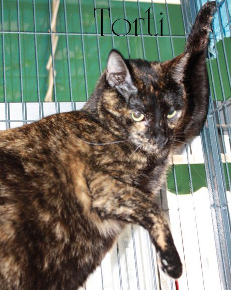 Torti, an adopted Tortoiseshell in New Orleans, LA