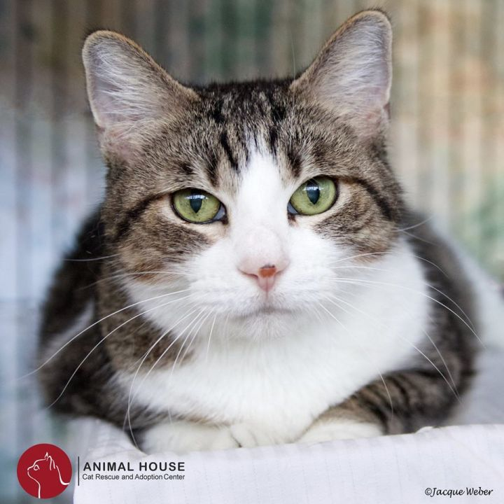 Belle, an adoptable Domestic Short Hair in St. Louis, MO
