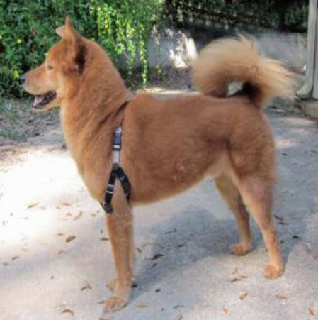 Mr. Bee, an adopted Chow Chow & Golden Retriever Mix in Tallahassee, FL