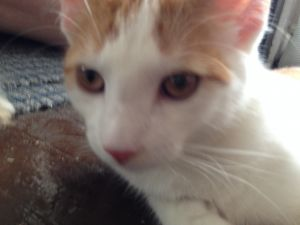 SNOW is an outgoing affectionate playful 3 year old orange and white cat He i