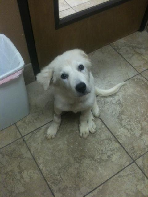 Stella II, an adopted Great Pyrenees Mix in Dallas, TX