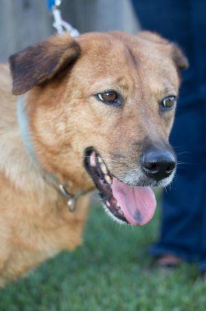 Gillie Golden Retriever Dog