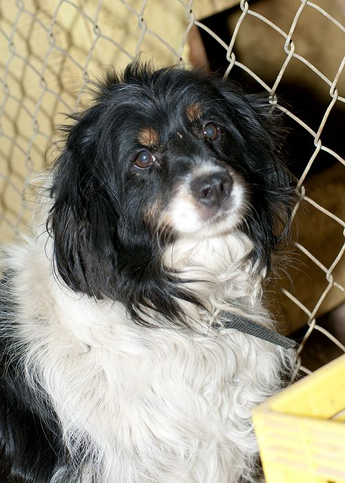 Charlie, an adopted Cocker Spaniel in Fort Smith, NT