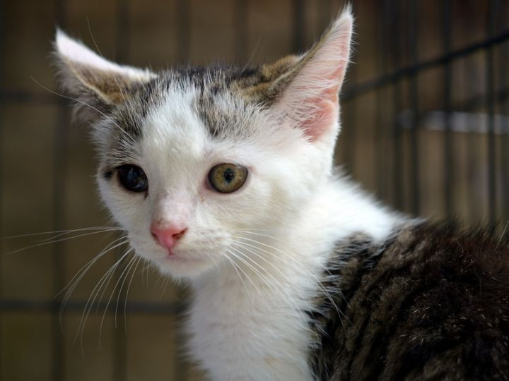 Pirate Jane, an adopted American Shorthair Mix in New York, NY