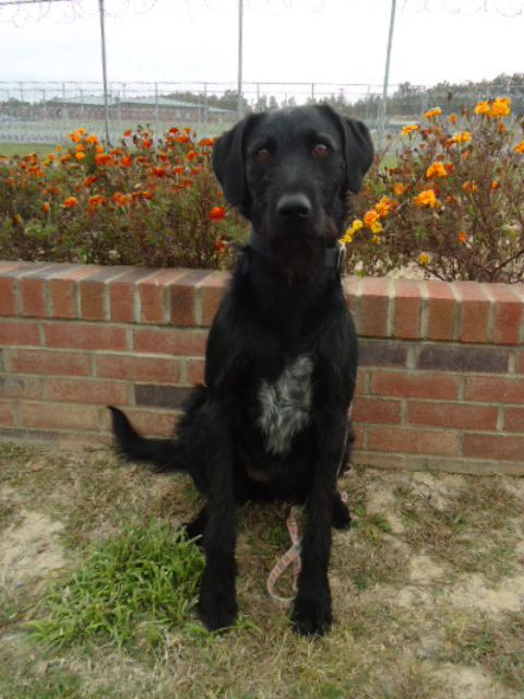 Shaley, an adopted Labrador Retriever & Standard Poodle Mix in Mt. Vernon, IN
