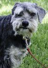 Schnauzer Dog: Toby