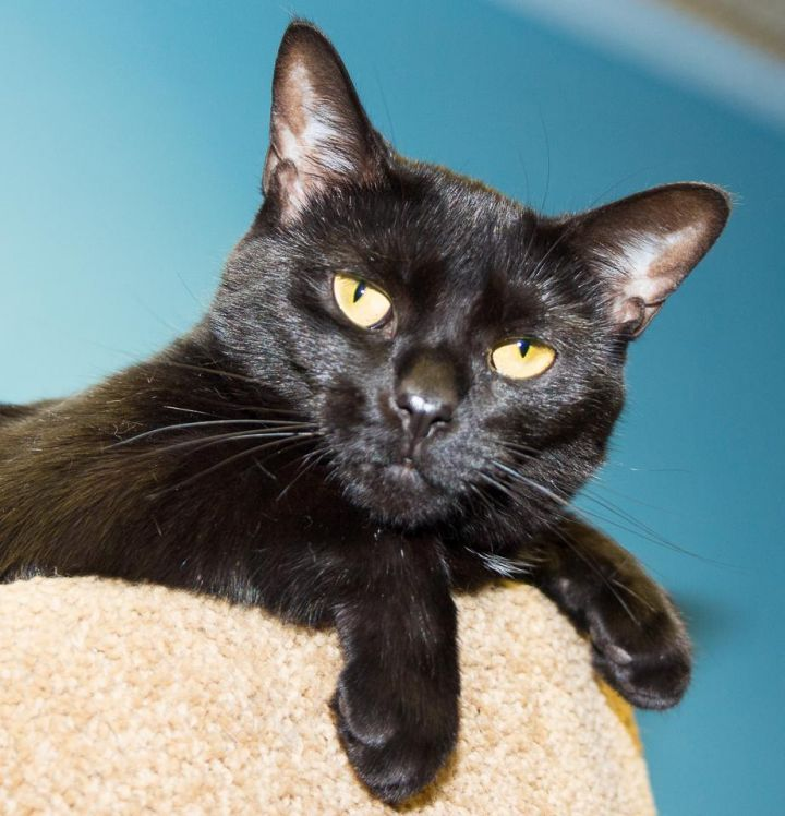 Alegra - no adoption fee, an adopted Domestic Short Hair Mix in Seville, OH