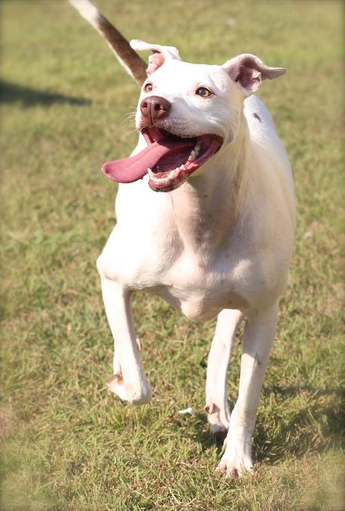 Valentine, an adopted Staffordshire Bull Terrier in Rockwall, TX