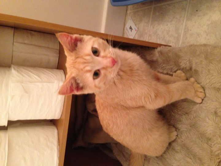 OT, an adopted Domestic Short Hair Mix in Fort Smith, NT