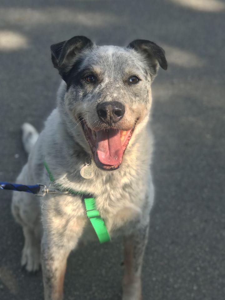 Dog for adoption - Krypto, an Australian Cattle Dog / Blue