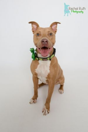 Rhonda is a loving and striking 1 year old little fawn pit bull who was saved from a horrible s