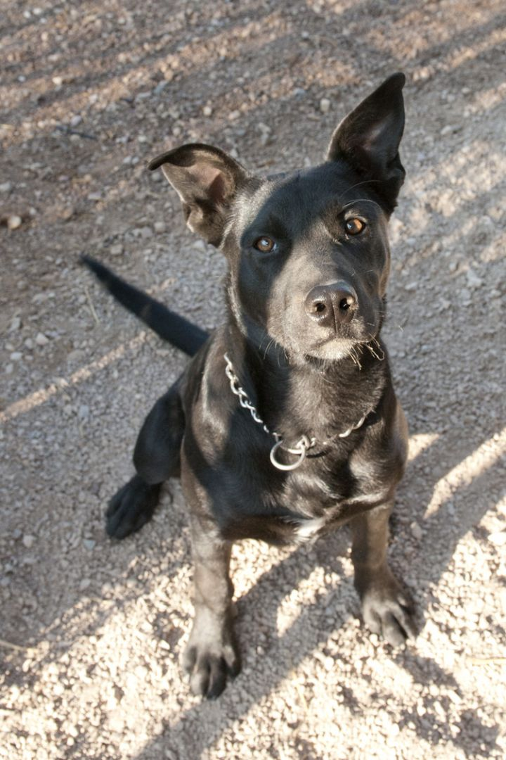 Jesi, an adopted Terrier & Labrador Retriever Mix in Fort Smith, NT