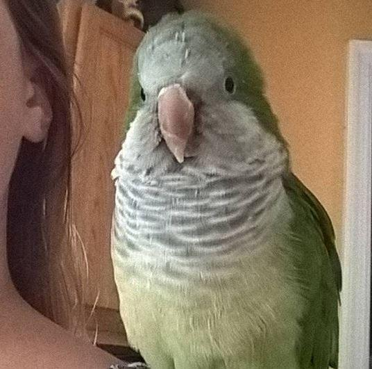 Lu-Man, an adopted Quaker Parakeet in Brandon, FL