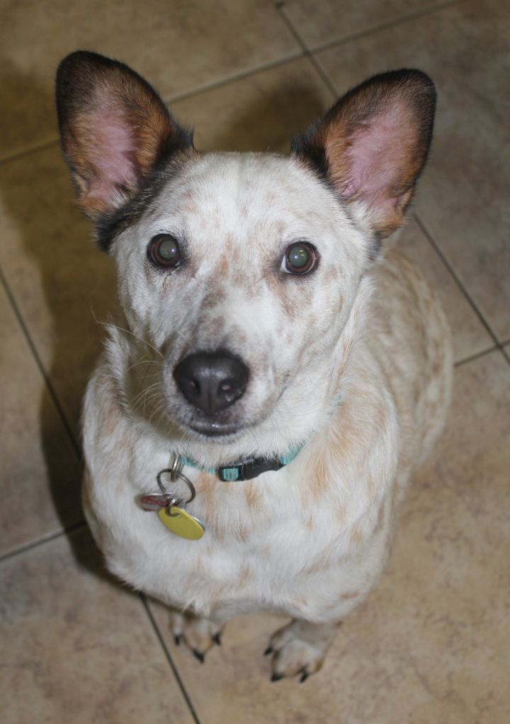 Quigley, an adopted Australian Cattle Dog / Blue Heeler in Mechanicsburg, PA