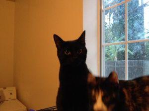 Michonne Domestic Short Hair Cat