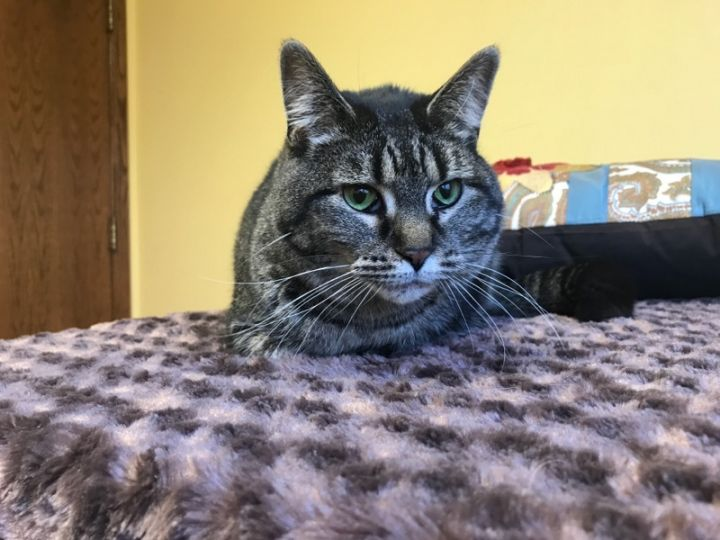 Piper, an adoptable Tabby Mix in Waverly, IA