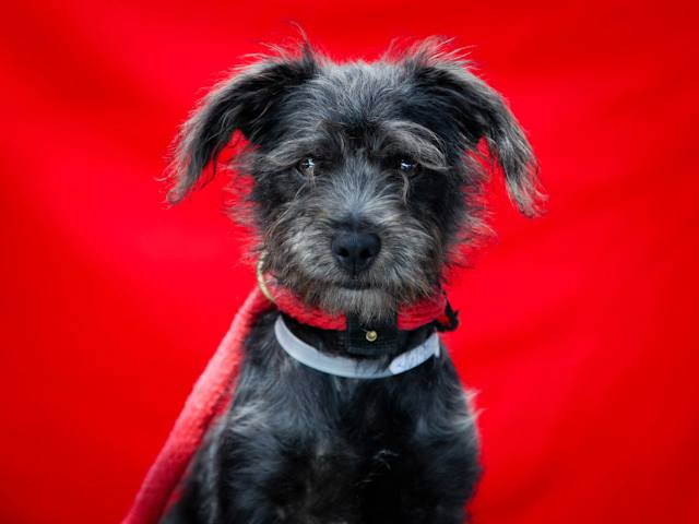 MITCH, an adopted Schnauzer & Terrier Mix in New York, NY