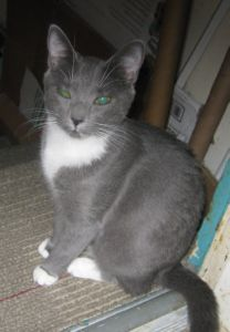 Petunia, an adoptable Domestic Short Hair Mix in Tallahassee, FL