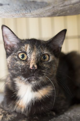 Bubbles, an adopted Tortoiseshell in New York, NY