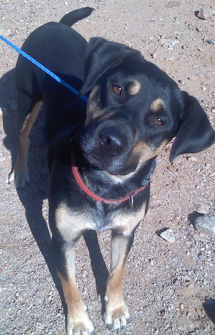 Simon, an adopted Rottweiler & Hound Mix in Tucson, AZ_image-2