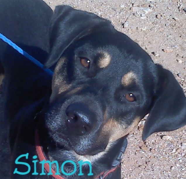 Simon, an adopted Rottweiler & Hound Mix in Tucson, AZ_image-1