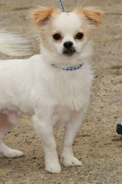 Jimmy-9/4/15, an adopted Pekingese & Chihuahua Mix in Lambertville, NJ
