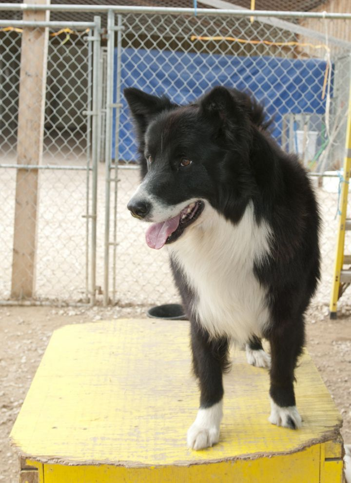 Muskwa, an adopted Border Collie & Husky Mix in Fort Smith, NT