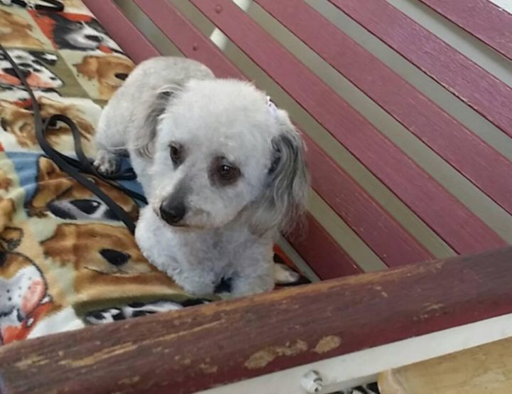 Mimi, an adoptable Poodle Mix in Stockton, CA