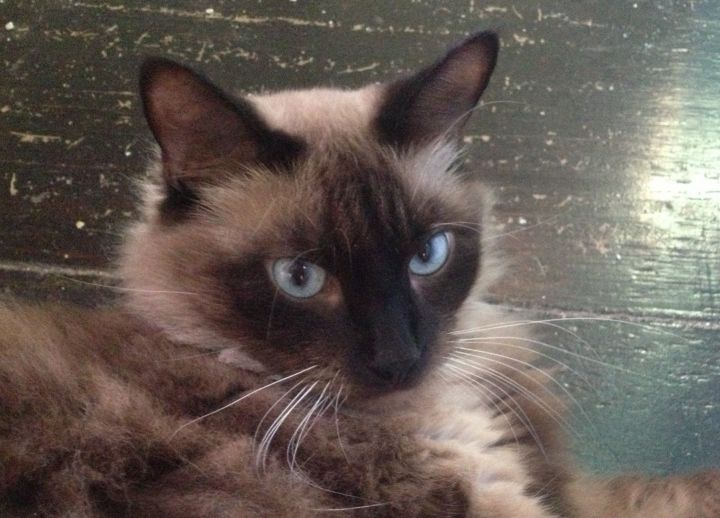 Whiskey, an adopted Siamese in Tallahassee, FL